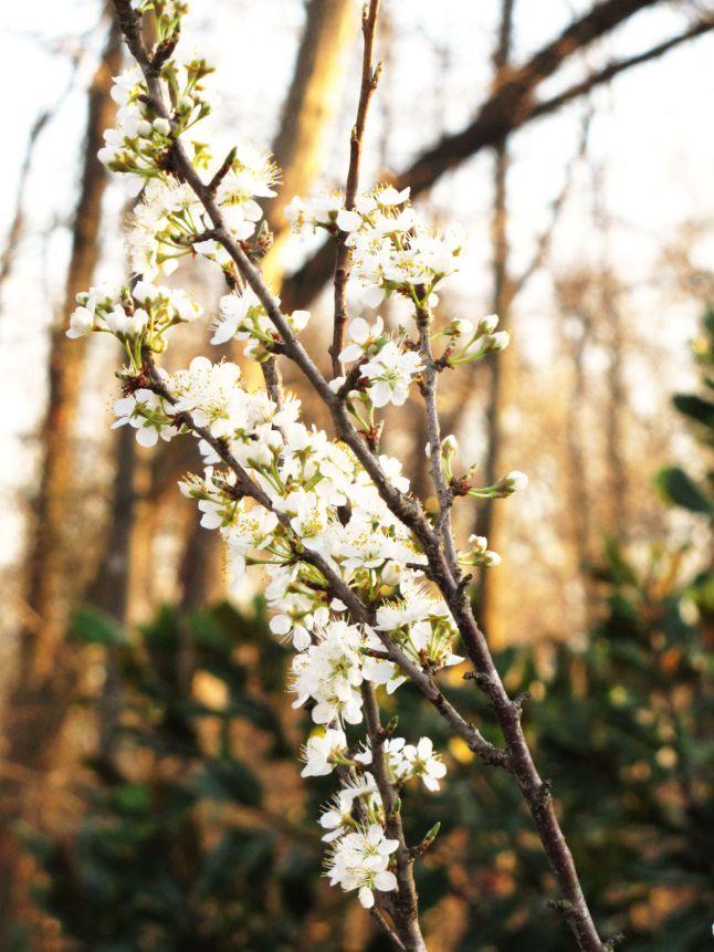 apricot tree bloom